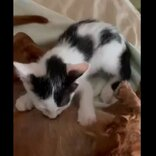 お爺さんワンコ14歳、子猫に乳を吸われる 新しい家族にされるがまま優しく身をゆだねる