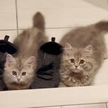 【じーっ】「どこ行くニャ」飼い主を監視するモフモフ猫たちが可愛すぎる~ - 「こんなんされたら出かけにくい」「たまらん」と悶絶