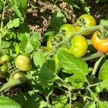 レタスにトマト、ハーブ類。家庭菜園で8種類の野菜を育ててきた私が選ぶ、特に育てやすかった野菜たち|マイ定番スタイル