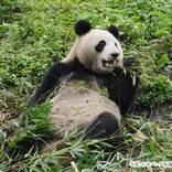 パンダの『シンシン』が双子を出産! 「最高のニュース」「本当に嬉しい」
