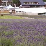 咲き誇る紫の絨毯!ラベンダースイーツも味わえる「たんばらラベンダーパーク」