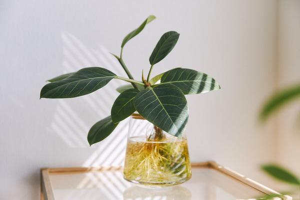 土を使わず水だけで育てる観葉植物『WOOTANG(ウータン)』