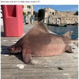 まるでブタの鼻? 珍しいサメの姿に驚きの声「別れた前妻にそっくり」などのジョークも(伊)