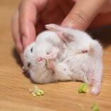 ハムスターの至福の表情が話題に「足を上げて仰向けで食べるとはなんて器用なんだ」