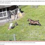 仲間の危機に一目散に駆け付ける農場の動物たちの強い絆 鷹に襲われた鶏を見事に救う(オランダ)