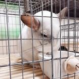 「しょぼーん……」 カラのエサ箱を見つめるチンチラの悲壮感