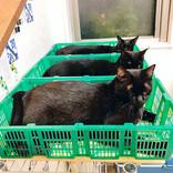 出荷待ちの野菜……と思いきやネコ!? あまりの可愛さに入荷を望む声多数 「みんなカワイイ」「競りの順番待ちしているみたい」