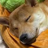 ホットドッグのベッドを買ってもらった柴犬 ソーセージ役がぴったりの寝姿に!