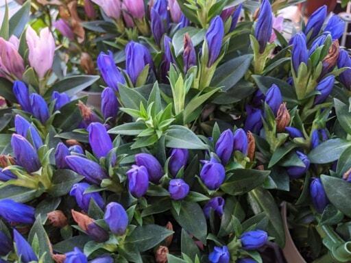 清楚な紫色の花が10月頃まで楽しめるリンドウ