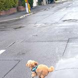 散歩で『約束』を破ったトイプー その光景に「見てるだけで元気が出る」「躍動感がすごい」