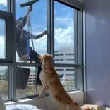 窓拭きの男性と遊びたい犬 遊んでもらえずにがっかりした数日後…?