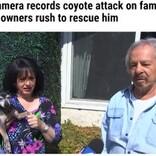 庭でコヨーテに襲われたチワワ 飼い主がエアホーンで追い払う(米)<動画あり>