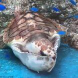 まるでネコのような愛くるしいウミガメが話題 飼育員は「めったに見られないしぐさ」