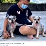 繁殖後に毛の塊に覆われ捨てられた2匹の犬、第2の人生を歩む(台湾)<動画あり>