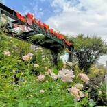 都内でバラの香りに包まれる!今しか体験できない花散歩「四季の香 ローズガーデン」【光が丘】