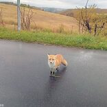 北海道で遭遇率ナンバーワン野生動物「キタキツネ」 近づくと感染症のリスクも