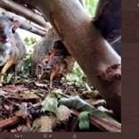 """体重わずか430グラム まるでバンビのような""""マメジカ""""が英動物園で誕生"""