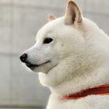 """【ラピュタ】柴犬が受け継いだ""""秘密の名前""""にネット大興奮!!「正統なる王位継承者のオーラを纏っておられる」と敬意を払う人続出"""